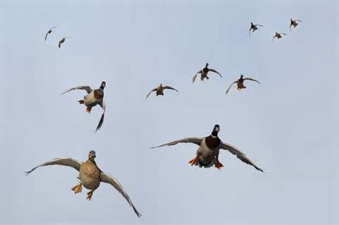 TWRA Releases Preview of Migratory Game Bird Hunting Seasons