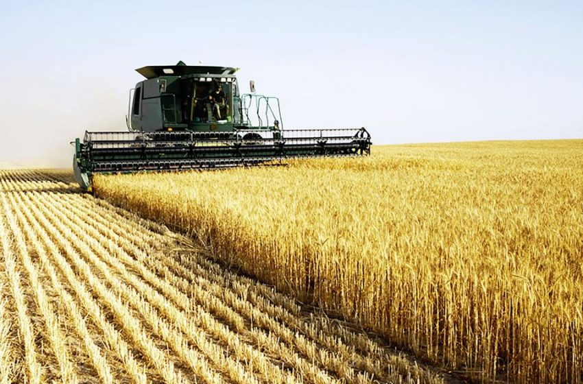 Winter Wheat Almost Ready for Harvest in Obion County